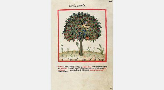 Theatrum Sanitatis Cerezas ácidas