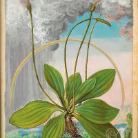 Broadleaf plantain (Plantago maior), f. 50r in Mattioli`s Dioscorides illustrated by Cibo, Add. Ms. 22332, c. 1564-1584.