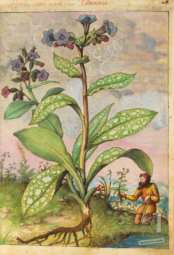 Mattioli's Dioscorides illustrated by Cibo (Discorsi by Mattioli and Cibo) Lungworts (Pulmonaria officinalis), 27v-28r