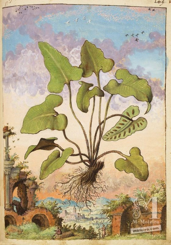 Mule`s fern