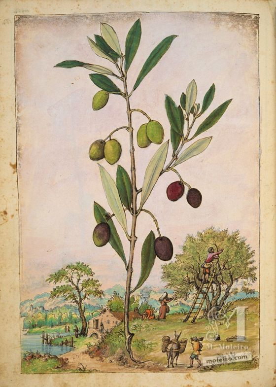 Olive tree (Olea europaea), f. 181v in Mattioli`s Dioscorides illustrated by Cibo, Add. Ms. 22332, c. 1564-1584.