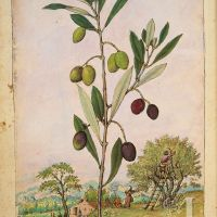 Olivo (Olea europaea), Dioscoride di Cibo e Mattioli, The British Library, Add. Ms. 22332, c. 1564-1584