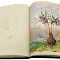 Saffron crocus (Crocus sativus) in Mattioli`s Dioscorides illustrated by Cibo, Add. Ms. 22332, c. 1564-1584.