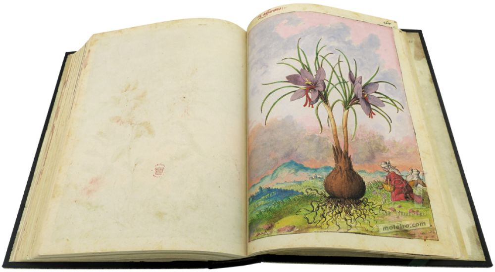Safran (Crocus sativus), Dioskurides von Cibo und Mattioli, Add. Ms. 22332, The British Library, c. 1564-1584