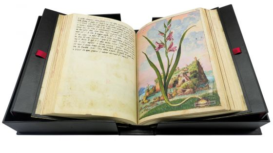 Field gladiolus (Gladiolus Italicus), f. 72r in Mattioli`s Dioscorides illustrated by Cibo, Add. Ms. 22332, c. 1564-1584.
